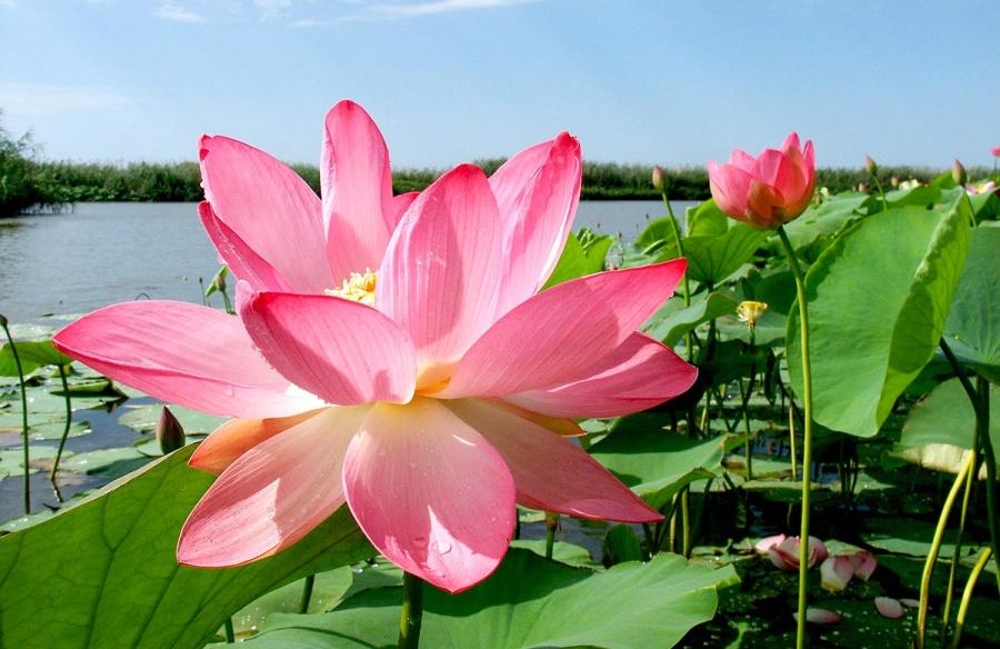 Астрахань цветение лотосов 2 программа